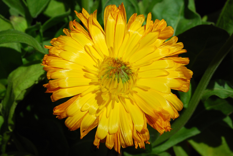 Calendula officinalis_L
