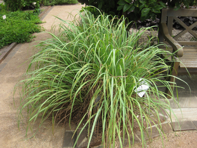 Cymbopogon citratus - Thai Lemon Grass